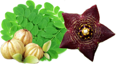 Garcinia Cambogia Extract Diet Image